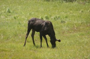 We seen our very first Moose